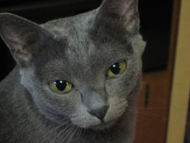 chat-bleu-korat