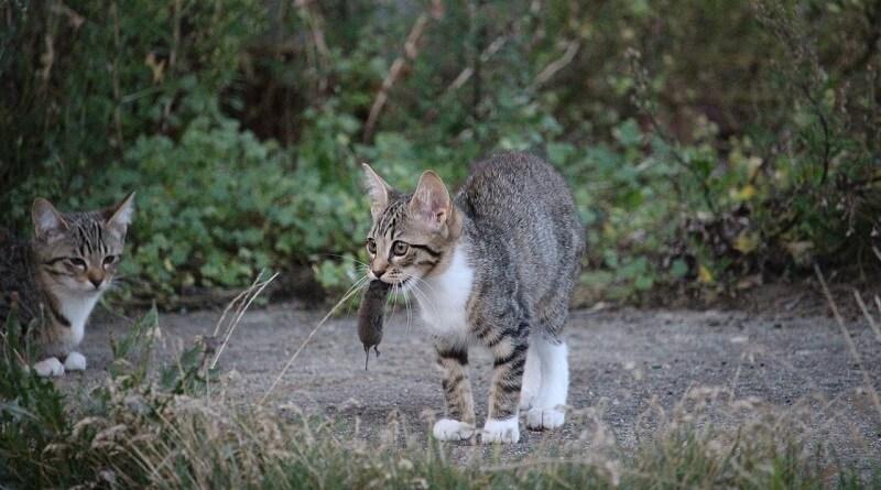 Les chats ratiers