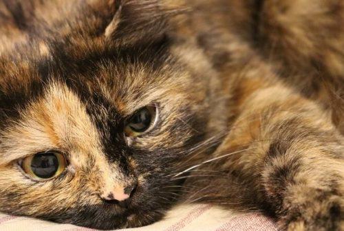 Les allergies aux chats