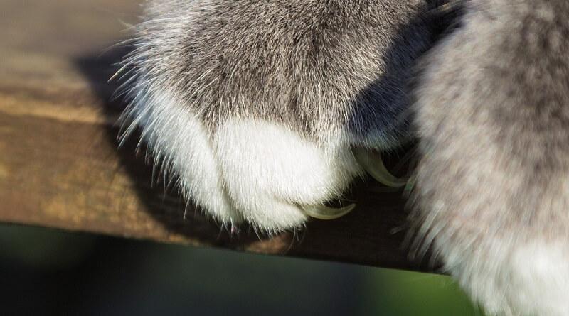 Retirer les griffes d'un chat