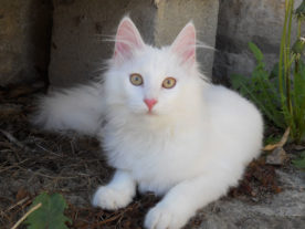 Photo d'un jeune chat angora turc (1)
