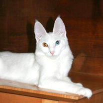 Un chats aux yeux impairs (aussi dits yeux vairons) (3)