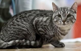 Photo d'un chat européen (1)