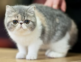 Photo d'un exotic shorthair (1)