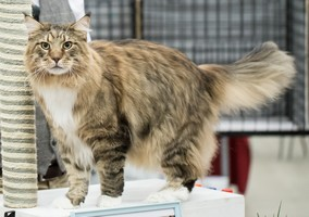Photo d'un maine coon (1)