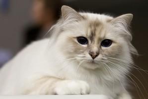 Photo d'un chat sacré de Birmanie (1)
