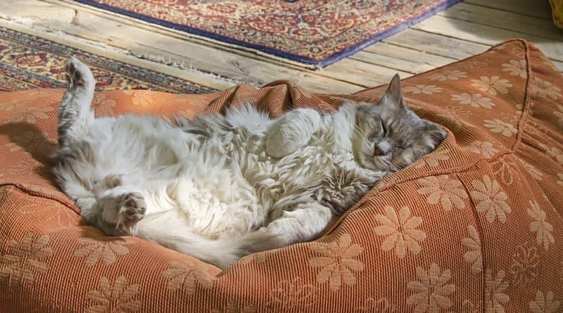 Position étonnante d'un chat qui dort